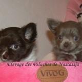 Photo de Chihuahua de l'élevage Chihuahua les Peluches de Nastassja