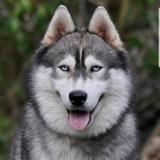 Photo de Husky sibérien de l'élevage Husky Angel inside