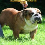 Photo de Bulldog de l'élevage MACK SWEET BRITISH BULL