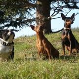Photo de chiens de l'élevage Elevage de la vigne aux vents