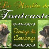 Photo de Leonberger de l'élevage Moulin de Fontcastel