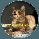 Photo de British Shorthair de l'élevage Chatterie du Val deBrenne
