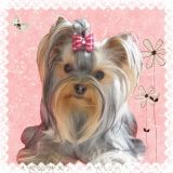 Photo de Yorkshire Terrier de l'élevage Of Beautiful Love's