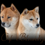 Photo de Shiba Inu de l'élevage Of Bluedge