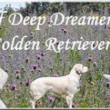 Photo de Golden Retriever de l'élevage Of Deep Dreamer's