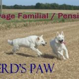 Photo de Berger blanc suisse de l'élevage Elevage Of Shepherd's Paw