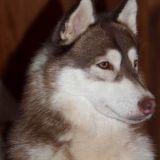 Photo de Husky sibérien de l'élevage Of The Indian Legend