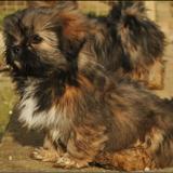 Chiot de l'élevage : ELEVAGE DES PETITES CRÉATURES DIVINES