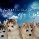 Photo de Husky sibérien de l'élevage Of The Indian Legend Sibérian Husky