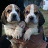 Photo de Beagle de l'élevage Elevage de la rosée des gatines