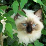 Photo de Ragdoll de l'élevage Ragdolline cat's