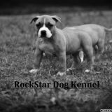 Photo de American Staffordshire Terrier de l'élevage Rockstar Dog