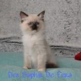 Photo de chats de l'élevage Elevage Ragdoll Des Saphir de Fera