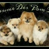 Photo de Spitz allemand de l'élevage Elevage Spitz nain Spitz Pomeranien -Black Brown Yellow