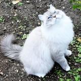 Photo de Sibérien de l'élevage MAGIC CHAMANE'S