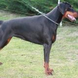Photo de Dobermann de l'élevage The Flash Black
