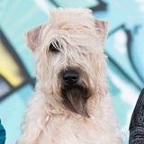 Photo de Irish Terrier à poil doux de l'élevage LES VARENNES MYSTIQUES