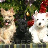 Photo de chiens de l'élevage WALESCOT-KINLOCH
