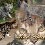 Photo de Bengal de l'élevage Wild Spirit Bengals