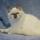 Photo de Ragdoll de l'élevage Top Ragdoll Fluffycat's