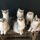 Photo de Scottish Fold de l'élevage Chatterie de la Brocante - La ferme des chats
