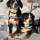 Photo de Bouvier de l'Entlebuch de l'élevage Elevage de la Perle des Bauges