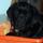 Photo de Labrador Retriever de l'élevage Les trolls du Marais