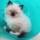 Photo de chats de l'élevage Elevage Du Royaume de France