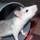 Photo de Rat de l'élevage Les Voleurs de Miettes