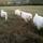 Photo de Berger polonais de Podhale de l'élevage De la Tendre Montagne