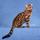 Photo de Bengal de l'élevage Les Bengalous