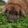 Photo de Leonberger de l'élevage La Légende D'ellorea