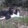 Photo de chats de l'élevage L'ELEVAGE D'AMBRE