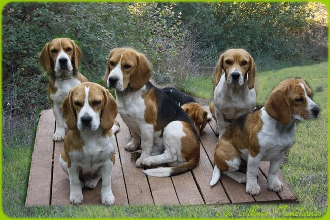 Des collines mim taines elevage beagle dans le - Chien beagle adulte ...