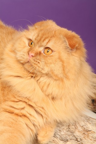 Eleveur American Shorthair Quebec Chatterie Sweet...