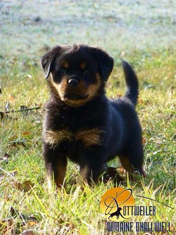 Domaine d'Halliwell : Elevage Rottweiler dans le