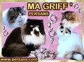 à la cattery MA GRIFF ' s PERSANS