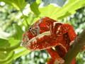 Amazone-reptiles