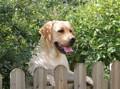 Labradors du Bois des Loutres