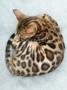 Le chat d'ô Retz