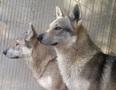 Les Loups des Plaines de Meyrans