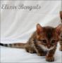 ELEVAGE ELIXIR BENGALS
