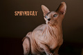 Chatterie SPHYNXCAT