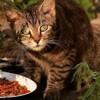 Alimentation du chat adulte