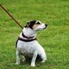 Apprendre à son chien la marche en laisse
