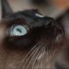 Pathologies des yeux du chat