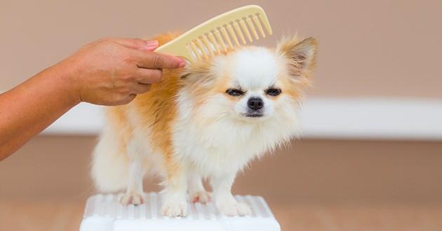 brosser pelage chien