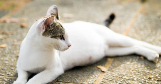 grossesse chat