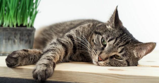 Le coryza chez le chat , Maladies virales et infectieuses du