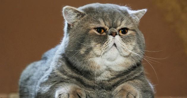 combattre obésité chat